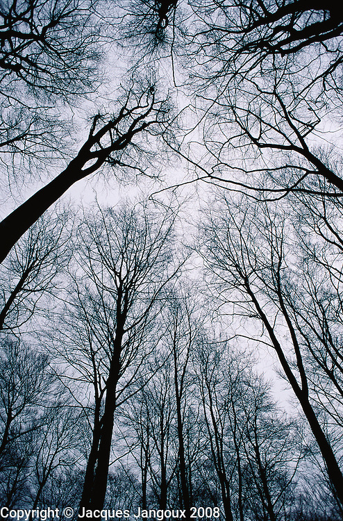 Temperate vegetation: View toward canopy of beech trees in late winter at Foret de Soignes near Brussels, Belgium. The Forêt de Soignes has been a managed forest for many centuries. It was planted with beech trees by Austrian gardener Zinner under Austrian Emperor Joseph II.