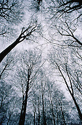 View toward canopy of beech trees in late winter at Foret de Soignes near Brussels, Belgium. The Forêt de Soignes has been a managed forest for many centuries. It was planted with beech trees by Austrian gardener Zinner under Austrian Emperor Joseph II.