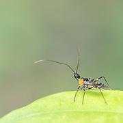 Reduviidae, assassin bug. Pang Sida National Park, Thailand.