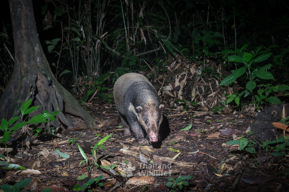 The hog badger (Arctonyx collaris), also known as greater hog badger, is a terrestrial mustelid native to Central and Southeast Asia. The global population is thought to be declining due to high levels of poaching.