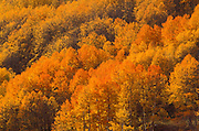 Soft light on golden fall aspens in the San Juan Mountains, San Juan National Forest, Colorado