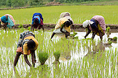 India. Rice Cultivation in Tamil Nadu