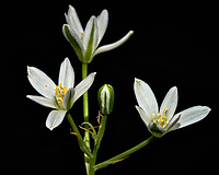 White wildflowers in a light-box. Spring nature in New Jersey. Image taken with a Fuji X-T2 camera and 60 mm f/2.4 macro lens (ISO 200, 60 mm, f/2.8, 1/30 sec) with popup flash.