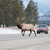 bull elk on open paved road car coming