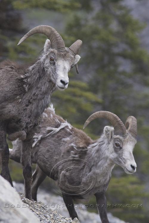 Stone Sheep on mountainside, Ovis dalli stonei