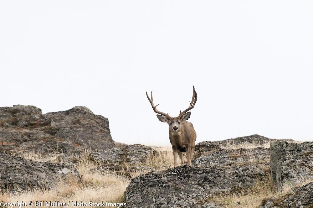 Mule deer buck (Odocoileus hemionus) on Wildhorse Island in Flathead Lake MT