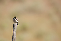 A Horned Lark sits on a fence post alongside a gravel road in Northern Utah this bird is common around gravel roads feeding on insects that fly or crawl across the roads.