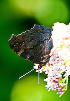 Close-up of a black moth sipping nectar on a flower.
