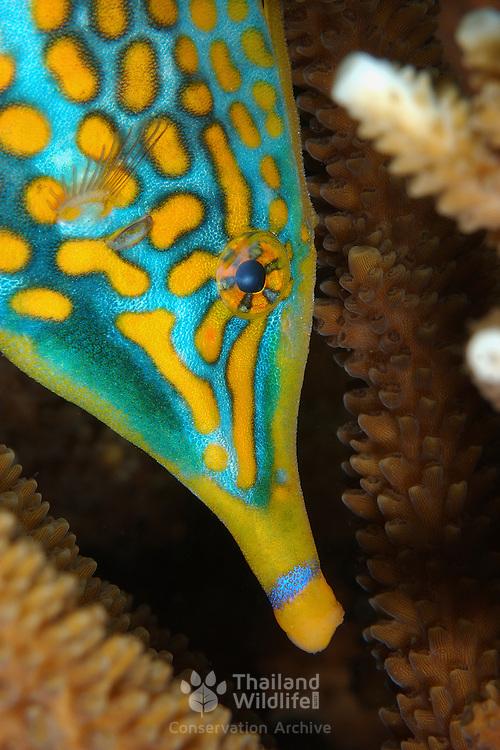 Longnose Filefish Oxymonacanthus longirostris at Lembeh Straits, Indonesia.