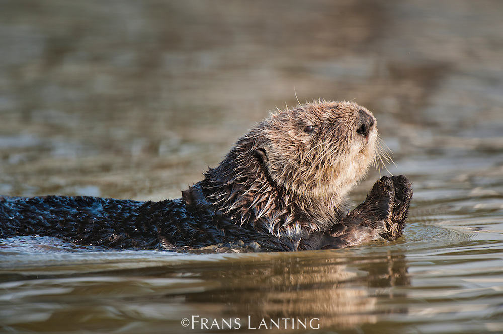 Sea otter swimming, Enhydra lutris, Elkhorn Slough, Monterey Bay, California
