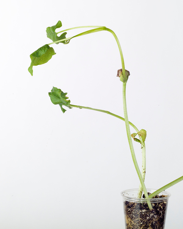 Vegetative growth, unhealthy seed growth, bent plants