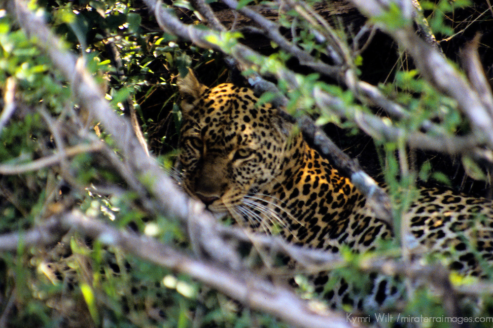 Africa, Kenya, Maasai Mara. Adult Leopard sits camouflaged in the shade.