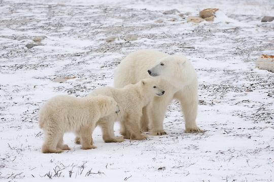 Polar Bear (Ursus maritimus) mother and cubs. Churchill, Manitoba