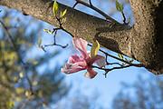 Saucer Magnolia, Mapp Athens, Tree Tour, College Green
