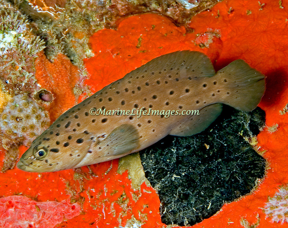 Spotted Soapfish inhabit shallow patch reefs and areas of sand and rubble in Tropical West Atlantic; picture taken St Vincent.