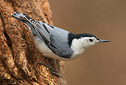 White-breasted Nuthatch (Sitta) clinging to a tree, Cheesquake State Park, New Jersey
