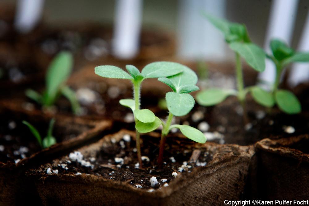 Seedlings sprouting.