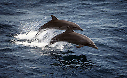 ATLANTIC OCEAN 2NOV14 - Dolphins jump as they travel in a straight line off the coast of Guinea.<br /> <br /> <br /> <br /> jre/Photo by Jiri Rezac / Greenpeace<br /> <br /> <br /> <br /> <br /> &Acirc;&copy; Jiri Rezac 2014