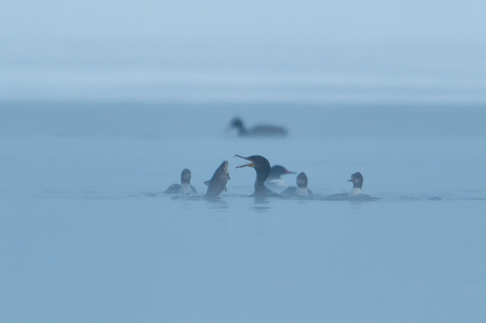 Cormorant versus a big shad fish with  Mergansers watching the action.