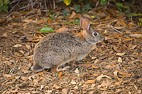 Common all over the Eastern half of North American, and quickly spreading not only across parts of the American West, but to other continents around the world - the humble eastern cottontail is an explosive breeder. This perfectly camouflaged adult was photographed in Bonita Springs, Florida within an eighth of a mile from where a family of bobcats lives among a tangle of old-growth palmetto palms.