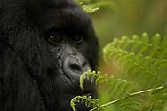 Portrait of a juvenile Mountain Gorilla (Gorilla gorilla beringei), Rwanda, Africa.
