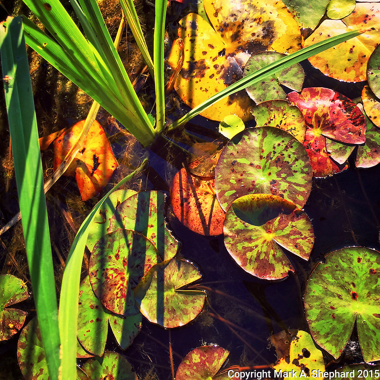 Lilly pads reflect warm late afternoon light on a June afternoon at Defries Gardens in New Paris, Indiana. (iPhone 6Plus photo by Mark A. Shephard)