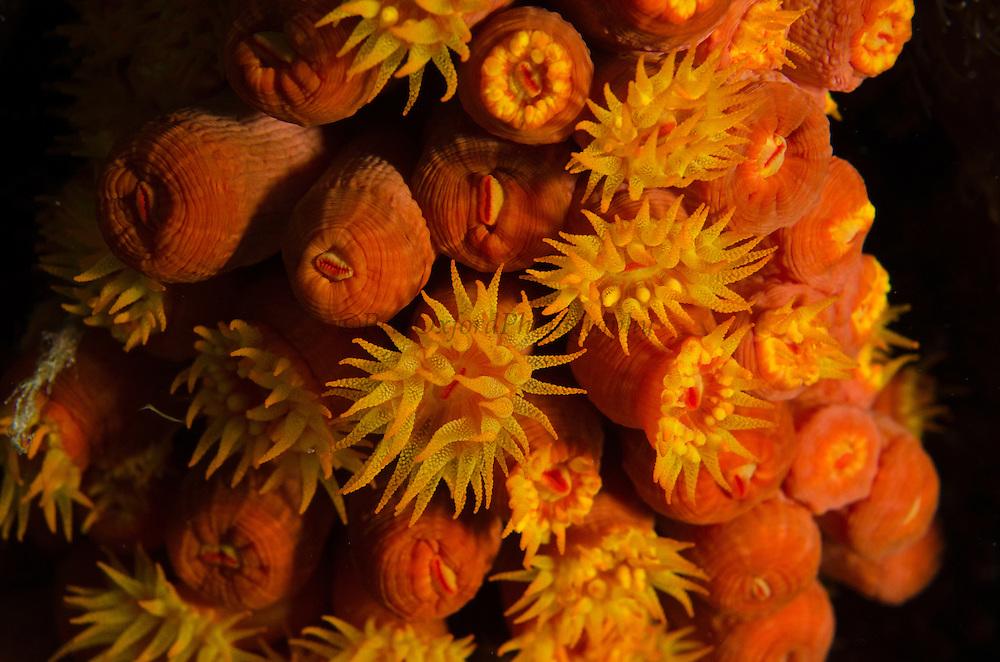 Orange Cup Coral (Tubastraea coccinea)<br /> BONAIRE, Netherlands Antilles, Caribbean<br /> HABITAT & DISTRIBUTION: Shaded areas in wide range of environments.<br /> Florida, Bahamas & Caribbean.