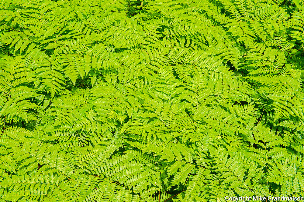Bracken fern at Penouille Beach along the Gulf of St. Lawrence . Appalachians' northeasternmost tip in North America. <br />