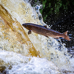 Salmon leap from the River Carron at the weir near Larbert, Scotland