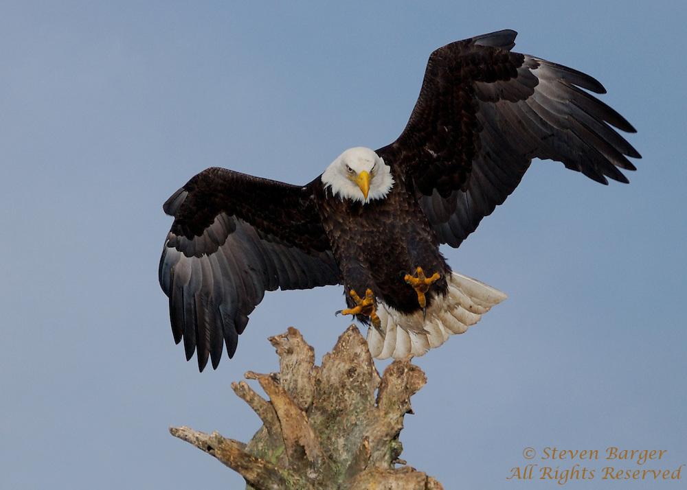 Bald Eagle landing on snag in Homer, Alaska.