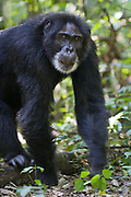Chimpanzee<br /> Pan troglodytes<br /> Large male walking through forest while on hunting patrol for monkeys<br /> Tropical forest, Western Uganda