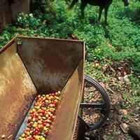 Molino de cafe, Altamira de Caceres, Estado Barinas, Venezuela.