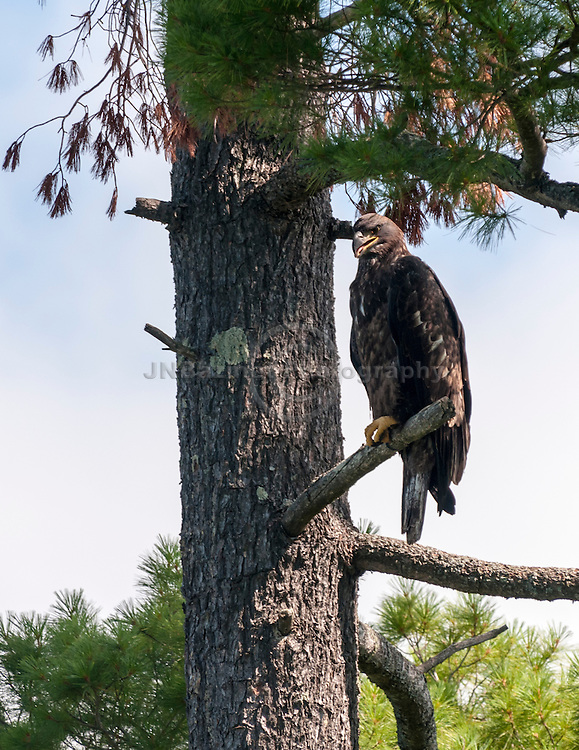 A young american bald eagle with crossed talons perches in a tree