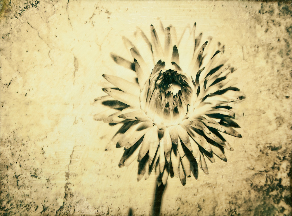Straw Flower Photo-Encaustic Art 12x16""