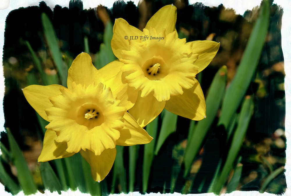 A pair of daffodils, close together, look eagerly out at the world.