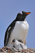 Gentoo penguin on the nest with two small baby chicks.
