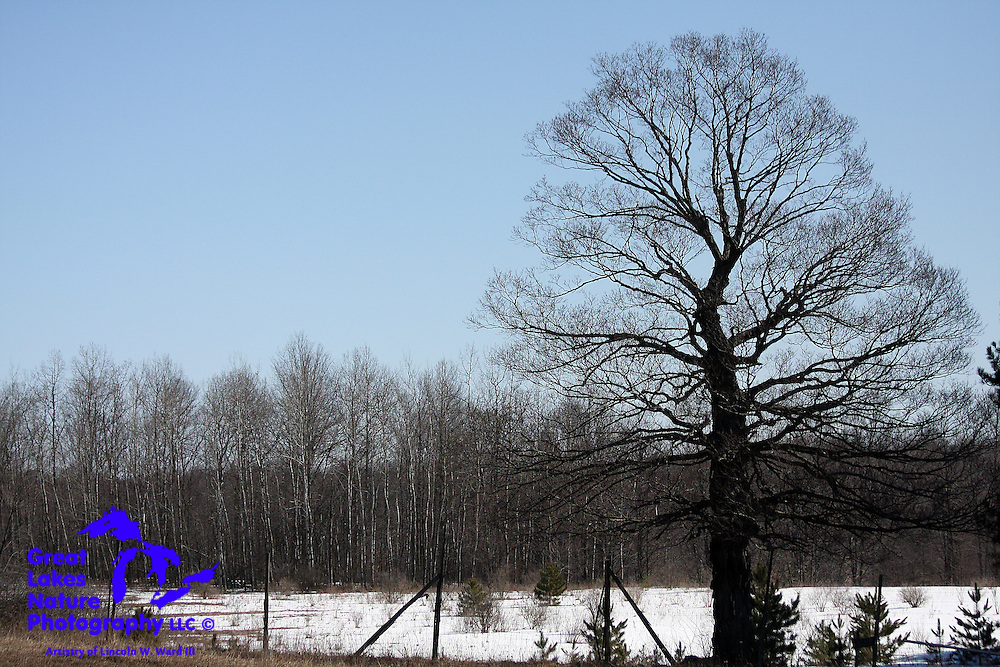 An enormous, solitary hardwood tree stands guard over a Northern Michigan meadow.