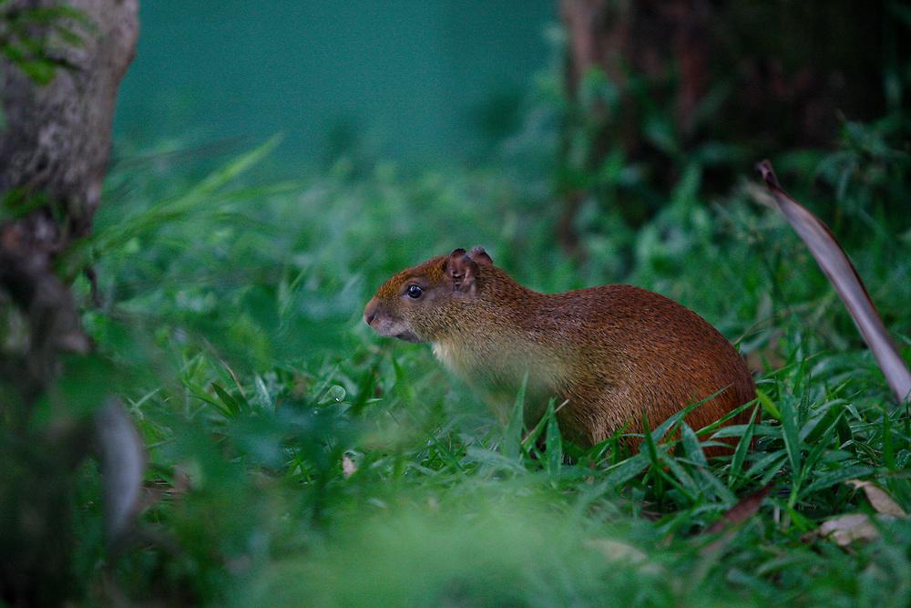 Cubatao_SP, Brasil...Detalhe de uma Prea (Cavia aperea)...Detail of a Brazilian guinea pig (Cavia aperea)... Foto: MARCUS DESIMONI /  NITRO.