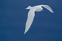 The pure white Ivory Gull, Pagophila eburnea flying over an open lead in the sea ice near Nordaustlandet in Svalbard archipelago, Norway.
