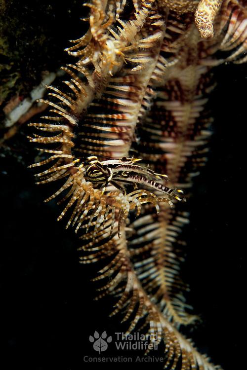 Squat Lobster, Allogalathea elegans, on its host crinoid in the Mergui Archipeligo, Burma.