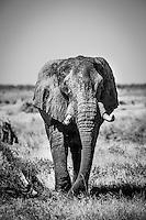 Elephant, monochrome, Mababe Depression, Chobe National Park, Botswana