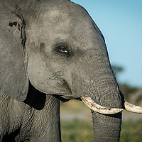 Portrait of a male elephant