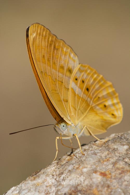 The Common Yeoman, Cirrochroa tyche rotundata.