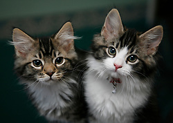 Domesticated pet kittens.