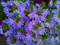 blue florets