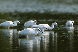 "Snowy egrets fishing in ephemeral pond, ""Secret Bird Pond"" near Trinity River Audubon Center, Great Trinity Forest, Dallas, Texas, USA."