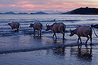 Wild buffalos in Pui O, Lantau Island, Hong Kong, China. 贝澳野生水牛,大屿山,中国香港。
