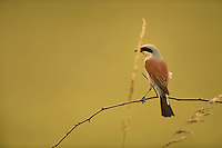 red-backed shrike (Lanius collurio), Peene valley, Anklam, Germany