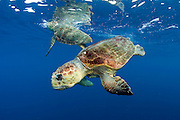 Loggerhead Sea Turtles, Caretta caretta, court offshore Palm Beach County, Florida, prior to mating.