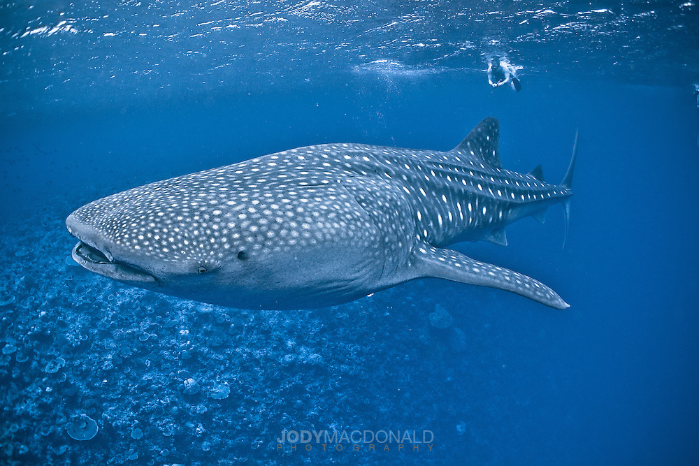 Large Whaleshark glides along in the Maldives over reef